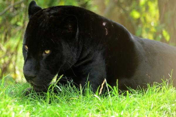 Pantera negra sobre la hierba