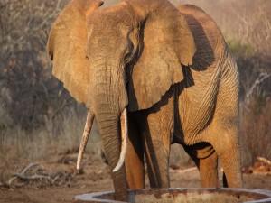 Postal: Elefante tomando agua de un pozo