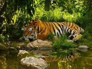 Un gran tigre tumbado junto al agua