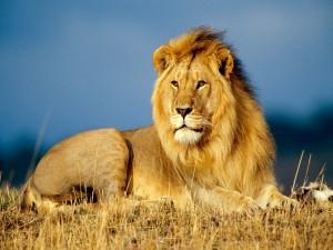Un gran león descansando
