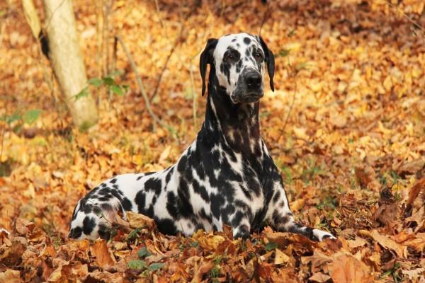 Un elegante dálmata sentado sobre hojas otoñales