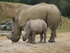 Pequeño rinoceronte junto a su madre