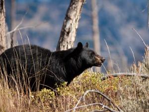 Postal: Un oso negro