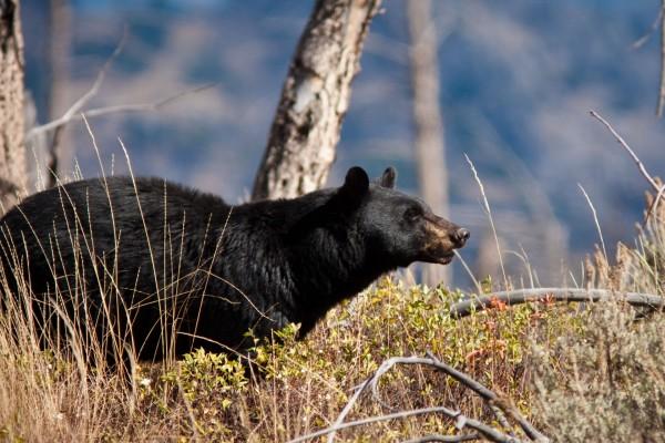 Un oso negro