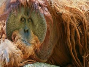 Un orangután con larga melena