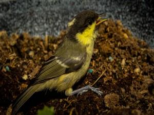 Postal: Un pájaro buscando alimento sobre la tierra