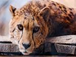 Un guepardo con cara de tristeza