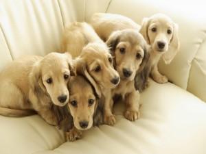 Postal: Cachorros en un sofá blanco