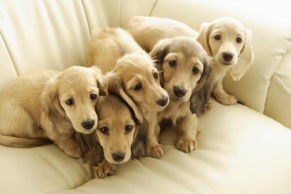 Cachorros en un sofá blanco