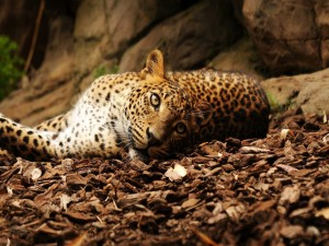 Postal: Un leopardo tumbado