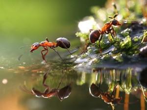 Postal: Hormigas junto al agua