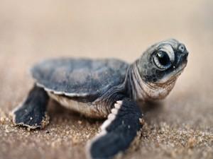 Postal: Una pequeña tortuga