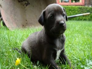 Cachorro negro sobre la hierba
