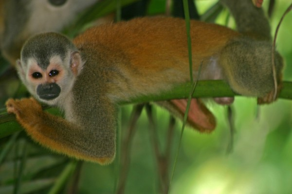 Mono ardilla sobre una rama