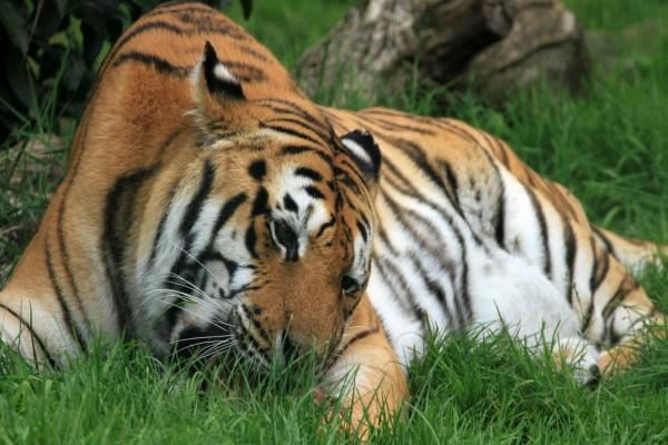 Tigre comiendo sobre la hierba