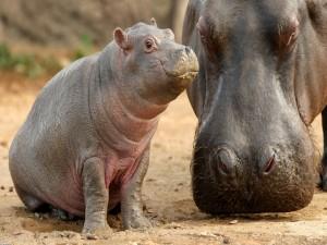 Pequeño hipopótamo junto a su madre