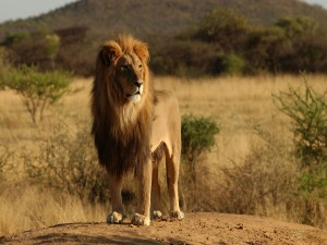 Postal: Un león observando