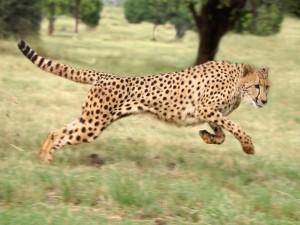 Postal: Un guepardo corriendo