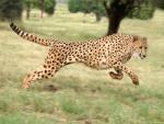 Un guepardo corriendo