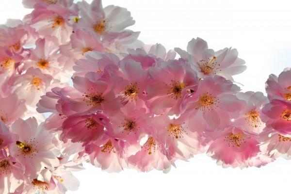 Hermosas flores de cerezo