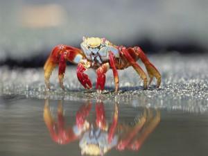 Postal: Cangrejo caminando por la orilla