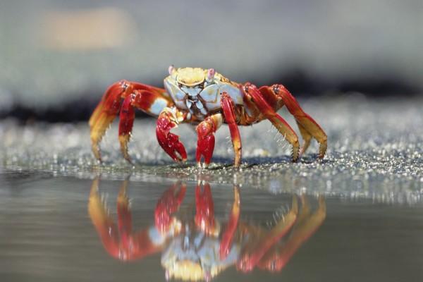 Cangrejo caminando por la orilla
