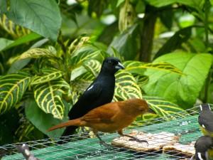 Frutero chocolatero macho y hembra en un centro de naturaleza