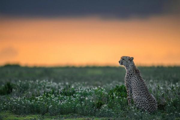 Un guepardo relajado al amanecer