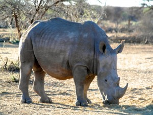 Postal: Rinoceronte en Namibia