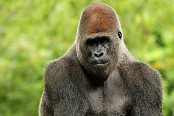 Un hermoso gorila