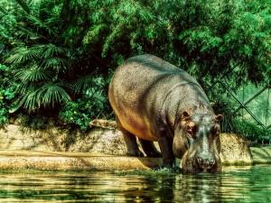 Un hipopótamo bebiendo agua