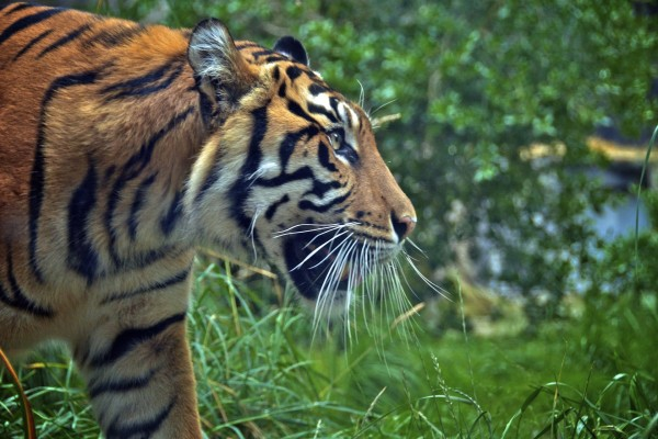 Tigre caminando sobre la hierba