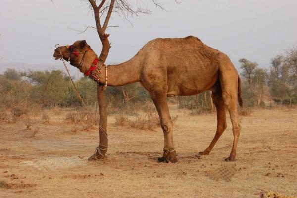 Camello atado a un árbol