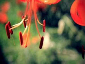 Postal: Pistilos de un lilium naranja
