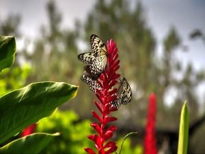 Postal: Varias mariposas sobre una flor roja