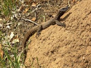 Un gran lagarto caminando sobre una roca