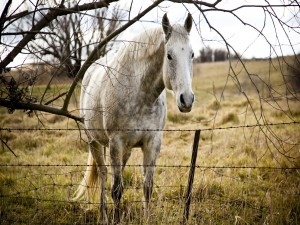 Caballo blanco tras una valla de alambre