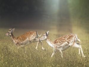 Ciervos caminando entre la hierba