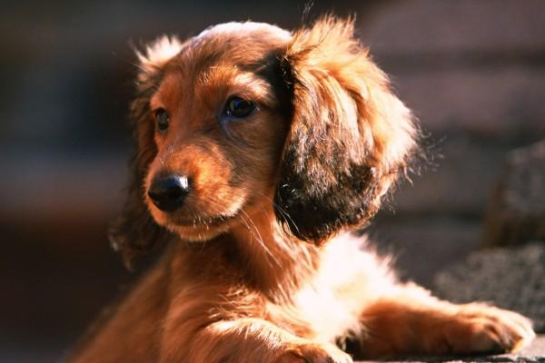 Un bonito cachorro de color marrón