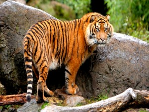 Postal: Tigre junto a una roca