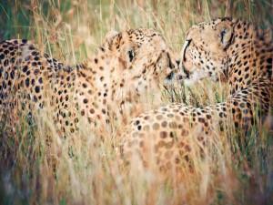 Postal: Pareja de guepardos entre la hierba