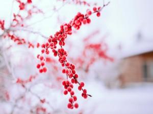 Postal: Bayas rojas en un árbol