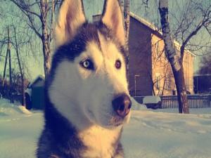 Postal: Un hermoso husky siberiano sobre la nieve