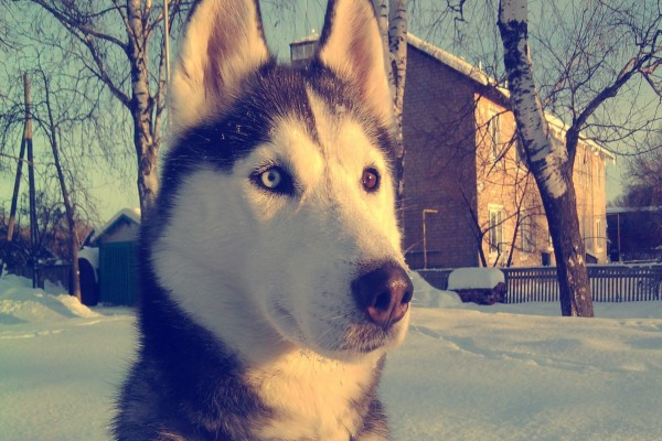 Un hermoso husky siberiano sobre la nieve