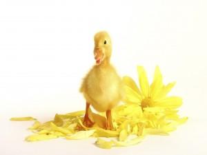 Patito junto a una flor amarilla