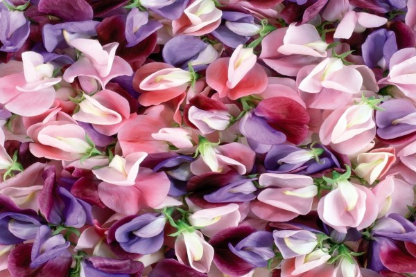 Flores color púrpura y rosa