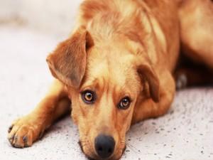 Perro marrón descansando