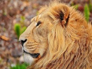 El perfil de un gran león