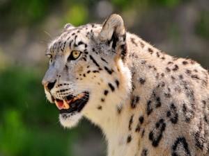 Leopardo de las nieves mostrando los colmillos