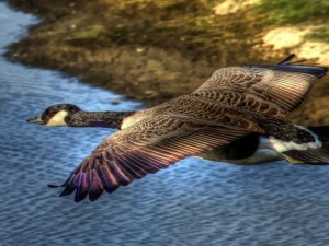 Pato volando